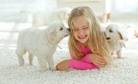 Girl on carpet with two Labrador puppies